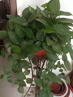 美观绿萝吊盆